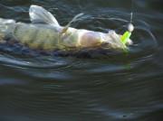 как поймать судака на спиннинг весной