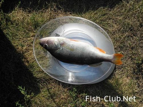 Сообщите нам о рыбах обитающих в окрестностях города Сумы